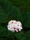 Clerodendrum chinense Royalty Free Stock Photography