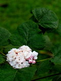 Clerodendrum chinense Royalty Free Stock Image