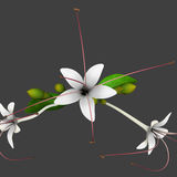 Clerodendrum Royalty Free Stock Photo