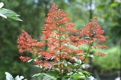 Clerodendrum-paniculatum Blumen, die im Garten blühen Stockfoto