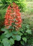 Clerodendrum paniculatum, pagodblomma Royaltyfria Bilder