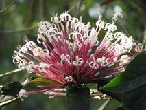 Clerodendrum quadriloculare eller Starburst buske blomma Arkivfoto