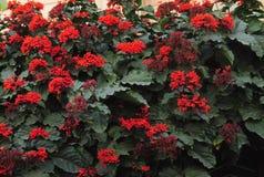 Clerodendrum splendens z czerwonym kwiatu pełzaczem Fotografia Royalty Free