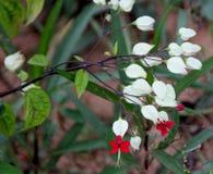 Clerodendrum thomsoniae,心脏出血藤 免版税库存照片