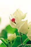 Clerodendrum thomsoniae Royaltyfria Foton