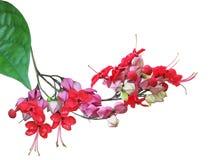 Clerodendrum-thomsoniae Blume Lizenzfreie Stockbilder