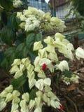 Clerodendrum thomsoniae 2 Royalty Free Stock Photos