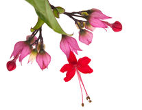 Clerodendrum thomsoniae Royalty Free Stock Images