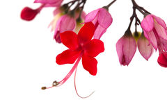 Clerodendrum thomsoniae Stock Image