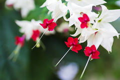 Clerodendrum thomsoniae flowers, closeup Stock Photos