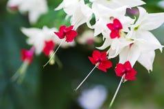 Clerodendrum thomsoniae flowers, closeup Stock Photos