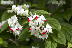 Clerodendrum thomsoniae flowers Stock Images