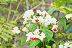 Clerodendrum thomsoniae is small white and red flower Stock Images