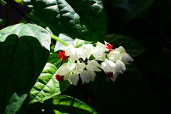 Clerodendrum thomsoniae or tears of Christ royalty free stock image