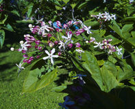 Clerodendrum trichotomum Stock Images