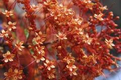 Clerodendrumpaniculatum Royalty-vrije Stock Foto's