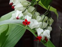 Clerodendrumthomsoniae - aftappend hart royalty-vrije stock foto