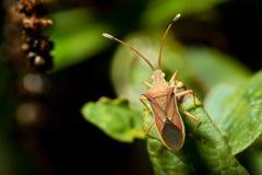 Cletus trigonusHemiptera på ett grönt blad Arkivbilder