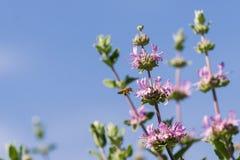 Cleveland sage Salvia clevelandii flowers on a blue sky background, California stock image
