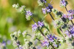 Cleveland sage Salvia clevelandii flowers growing on a meadow meadow in spring, California royalty free stock images
