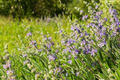 Cleveland sage Salvia clevelandii flowers growing on a meadow in spring, California stock photography