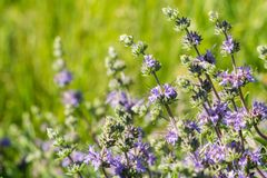 Cleveland sage Salvia clevelandii flowers growing on a meadow in spring, California royalty free stock images