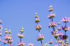 Cleveland visa Salvia clevelandiiblommor Royaltyfri Fotografi