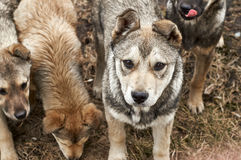 Clever attentive puppy among pack of dogs Stock Images