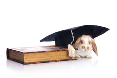 Clever babbit. Clever rabbit in graduation cap with book isolated on white royalty free stock photo