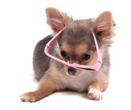 Clever Chihuahua Puppy with Pink Glasses Stock Photos