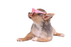 Clever Chihuahua Puppy with Pink Glasses Stock Photography
