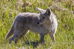 Wild coyote meadow Royalty Free Stock Images