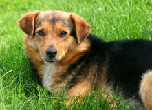 Clever dog. Portrait of clever dog laying in green grass royalty free stock photo