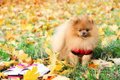 Clever dog with a book. Pomeranian dog in autumn park with book. Royalty Free Stock Photo
