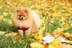 Clever dog with a book. Pomeranian dog in autumn park with book. Royalty Free Stock Photography