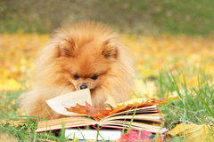 Clever dog with a book. Pomeranian dog in autumn park with book. Stock Image