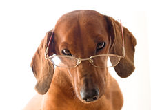 Clever dog in glasses Stock Photos