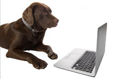 Clever Doggy using a Laptop Stock Photo