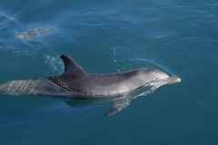 Clever dolphin swimming in blue water Stock Images