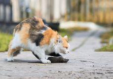Clever fluffy homemade red cat sneaks over to the gray caught th. E rat Royalty Free Stock Photography
