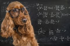 Clever funny dog wearing eyeglasses. Math equations on blackboard in background.  stock image