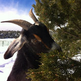 Clever Goat. Munches on a piñon tree in Colorado Stock Images