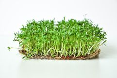 Clever healthy food greens. Microgreen cress salad Lepidium sativum. Annual plant, widely used in medicine and cooking. Dietary vegan food royalty free stock image