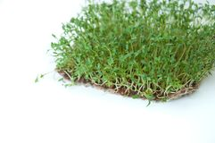 Clever healthy food greens. Microgreen cress salad Lepidium sativum. Annual plant, widely used in medicine and cooking. Dietary vegan food royalty free stock images