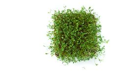 Clever healthy food greens. Microgreen cress salad Lepidium sativum. Annual plant, widely used in medicine and cooking. stock photo
