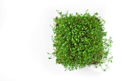 Clever healthy food greens. Microgreen cress salad Lepidium sativum. Annual plant, widely used in medicine and cooking. Dietary vegan food royalty free stock photography
