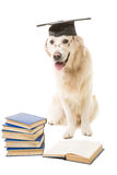 Clever Labrador Retriever On Isolsted White Royalty Free Stock Image