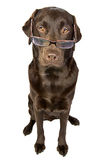 Clever Looking Chocolate Labrador royalty free stock photography