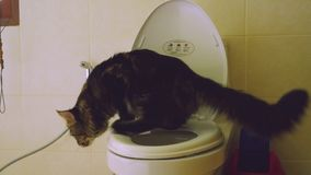 Clever Maine Coon cat uses a toilet bow. 3840x2160 stock footage