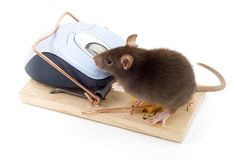 Clever Mouse. A mouse used his computer sibling to get to the cheese Stock Image